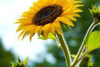 Hoe om hidroponiese sonneblomgroen te groei