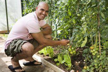 Tomato plant blare word geel met grys kolle