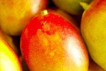 Hoekom sal mango bome nie vrugte produseer nie