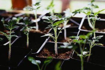 Wat is stratifikasie in plante?