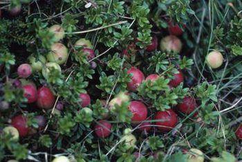 Moenie bosbessies op `n bos of `n boom groei nie?