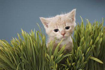 Hoe om grassegras te snoei
