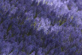 Hoe om ontslae te raak van lila bosstingels nadat jy dit afgesny het