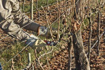 Snoei ek robyn saadlose druiwe?