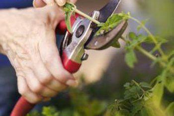 Hoe om lewende steggies van struike te plant
