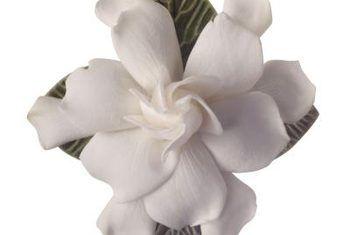 Feite oor die gardenia veitchii