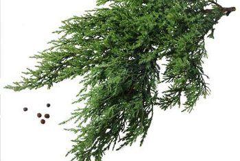 Hoe lank groei holger junipers?