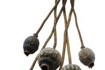 Tuinplante met peule