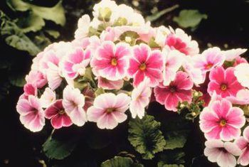 Hoe om primula japonica te groei