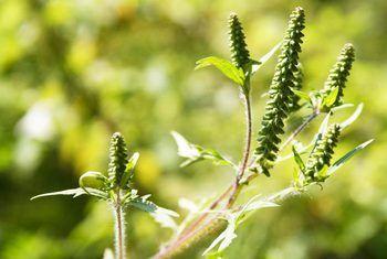 Groeistadiums van ragweed
