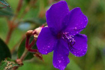 Spots op wilde violet blare