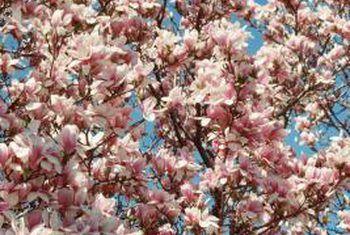Magnolia kanker siekte
