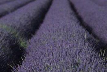 Waar en hoe om laventel as grondbedekking te plant