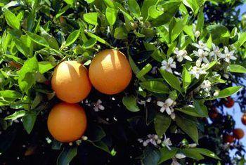 Dwerg-oranje boomblare is droog en gekrul van die punte af