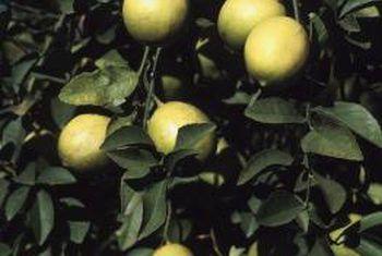 Watter foute veroorsaak dat die blare op `n suurlemoenboom krul?