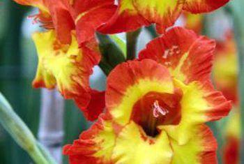 Is gladiolus-eenjariges?