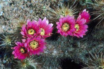 Hoeveel keer reageer `n kaktus in `n leeftyd?
