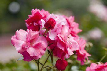 Hoe om verlede jaar potte rose terug te bring