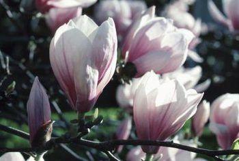 Op watter ouderdom bloei magnolias?