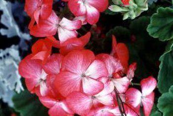 Winterberging van geraniums in papiertasse
