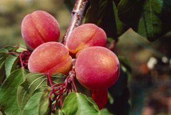 Geel in perskebome
