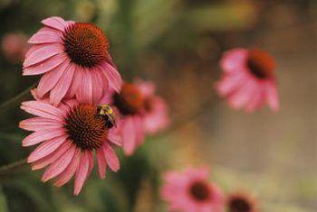 Watter plante beskadig blaaskoppers?