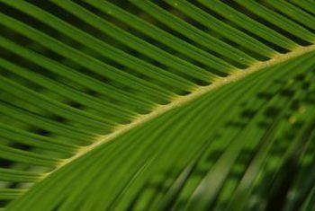 Sago palms groei vrugte?