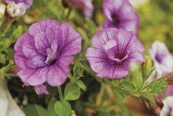 Lae-nektar blomme vir son of skaduwee