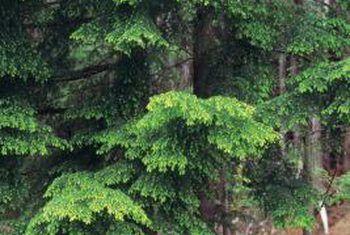 Hoe groot kan `n hemlockboom groei?