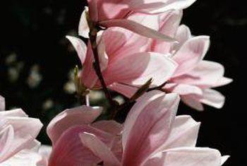 Watter diere gebruik magnolia bome?