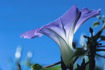 Is convolvulus plante meerjariges?