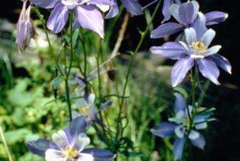 Inligting oor die blou columbine blom