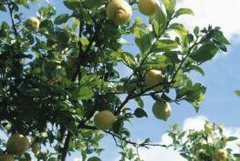 Eureka-suurlemoenboom sal nie groei nie