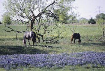 Hoe om Texas Bluebonnets te groei