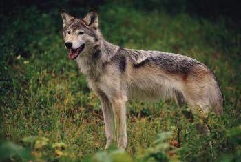 Hoe om coyote te hou om onder `n heining te kruip