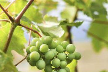 Die definisie van `n knoppie vir druiwe