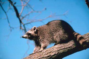 Hoe om opossums en racoons uit blombeddings te hou