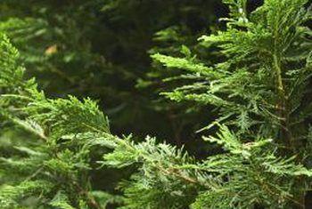 Oos-rooi sederbome en sakwurms