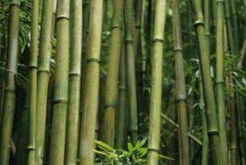 Is bamboes goed of sleg om te plant?