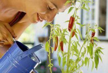 Hoe om te sorg vir tabasco peperplante