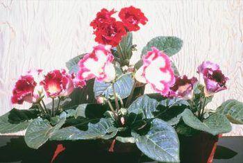 Repotting gloxinia