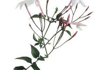 Jasmine wat nie blom nie