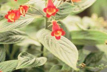 Gloxinia plant sorg: hoe laat dit dormant gaan
