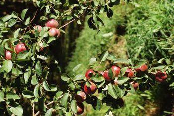 Kraagvrot op appelbome