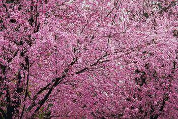 `N Blommende pruimboom met taai blare