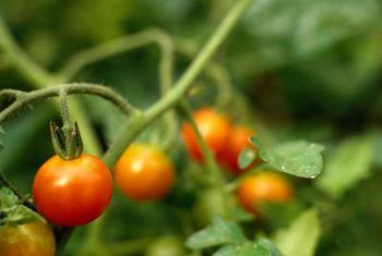 Tomato plant bug middels