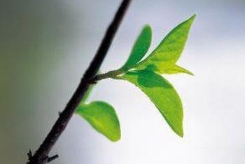 Hoe om knoppe en graftbome te splits