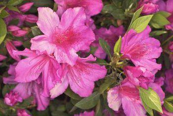 Plaagbeheer vir azaleas