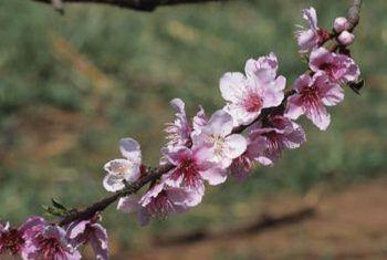 Feite oor huilende perskebome