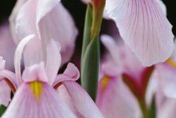 Wat veroorsaak bruin kolle op irisplante?